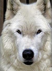 ホワイト・ウルフ