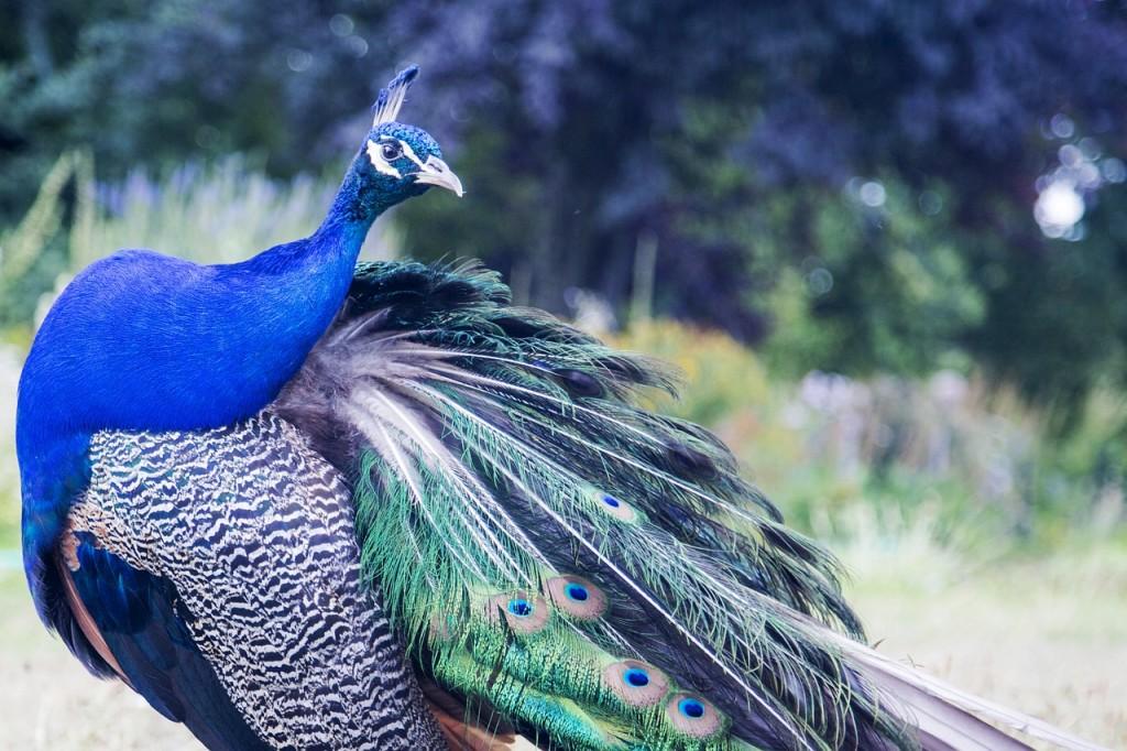 孔雀の癒しの羽
